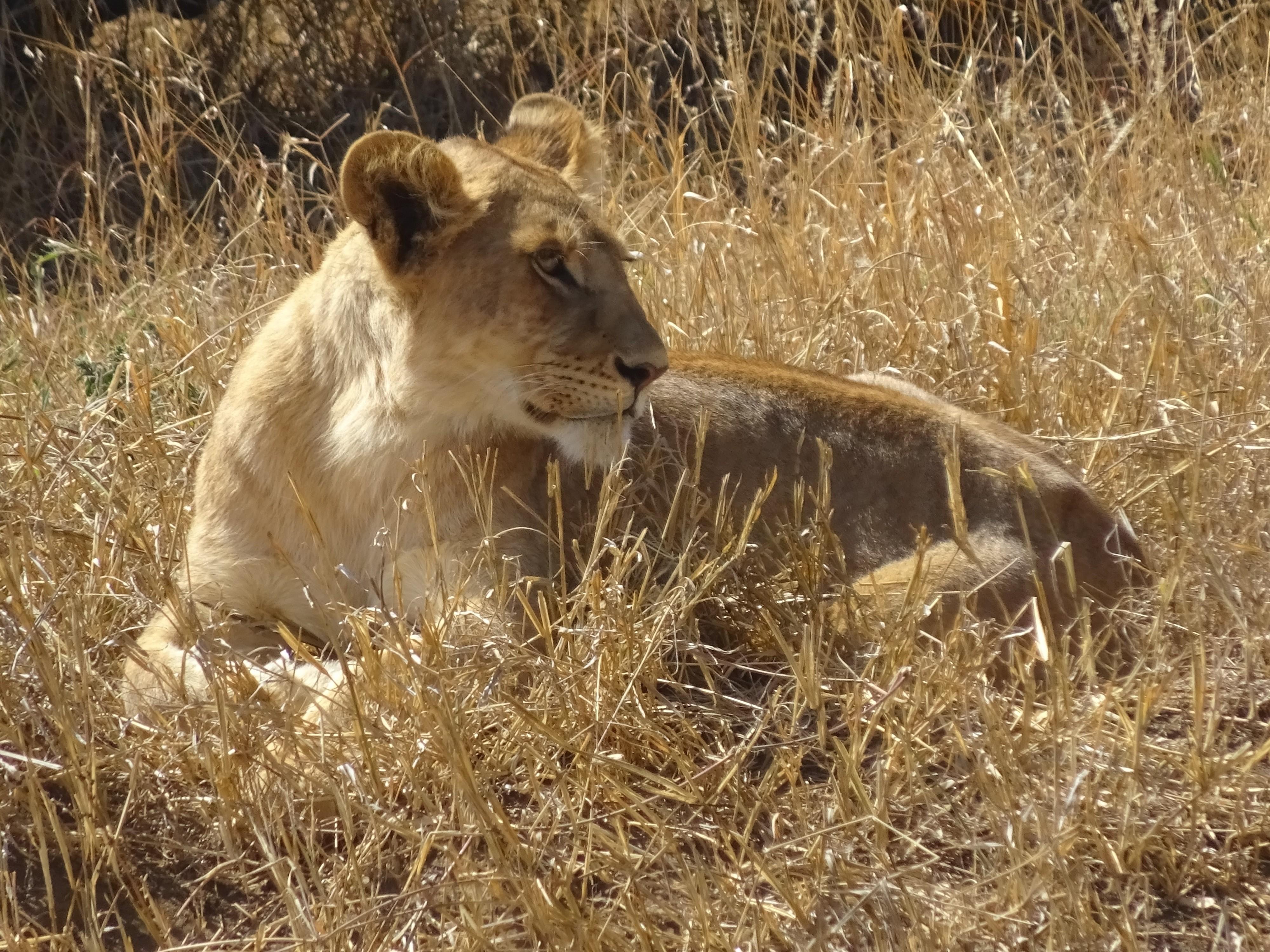Rencontre d un lionceau en tanzanie